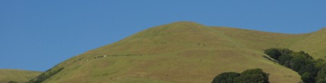 Dairy cows on a Marin County hillside. Photo courtesy of CDFA