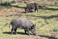 wild boar hog