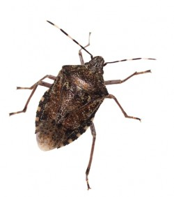 Brown Marmarated Stink Bug