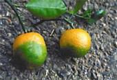 HLB Huanglongbing on oranges. Photo courtesy of USDA.