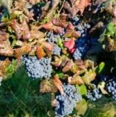 grapes3-199x300