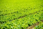 Organic Green Lettuce Field Closeup. California Agriculture.