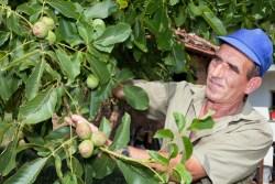 Old farmer with walnut tree