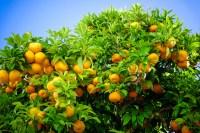 Ripe oranges. oranges on a tree-citrus crop forecast