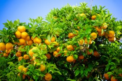 Ripe oranges. oranges on a citrus tree