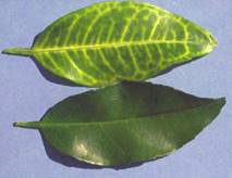 Vein yellowing in a greening-infected leaf (top); normal leaf on bottom
