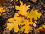 oak leaves found on the Modoc National Forest in California