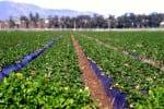 farming strawberry plants on plastic