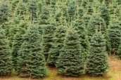 Christmas Tree Needle Drop
