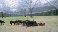A sounder of feral hogs eating bait beneath a drop-net