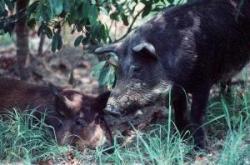 Feral hog infestations