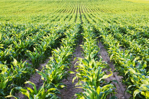 corn belt