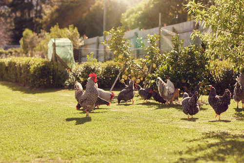 USDA Confirms Virulent Newcastle Disease in Backyard Exhibition Birds in California