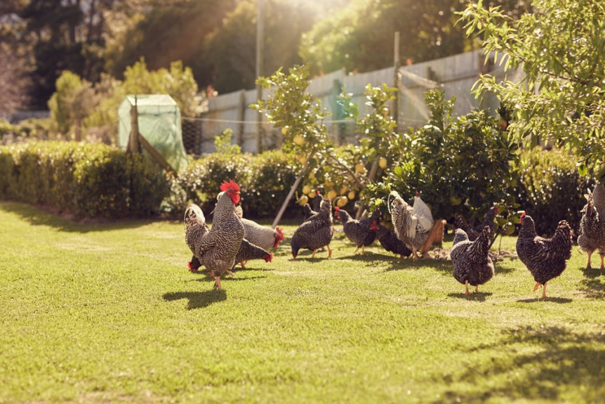 Chickens-walking-around-lawned-garden