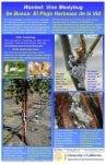Identifying Vine Mealybug
