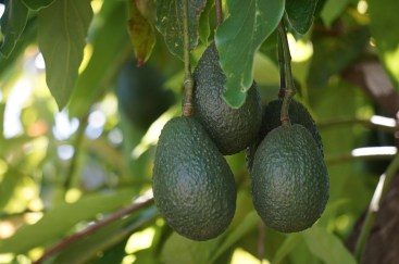 Avocado in tree
