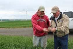 Skip Mead (left) and Administrator Dolcini (right) check the wheat quality of a field in Columbia County, Washington.