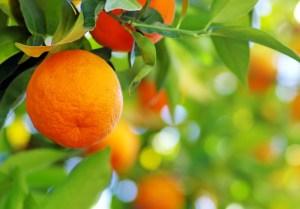 organic citrus survey