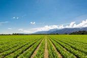 53313775 - fertile agricultural field of organic crops in california