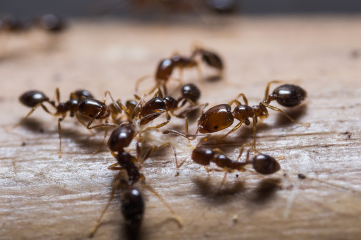 beneficial ants