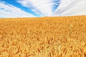 U S wheat