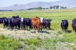 group of cows grazing on the meadow land