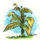 herbicide glyphosate-yellowing plant