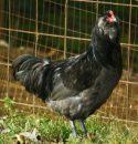 Blue_Ameraucana_Cock-chickens