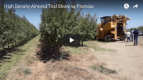high density almond