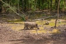 Feral pig, wild hog boar-wild pigs