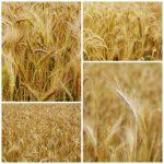 Field of small grain