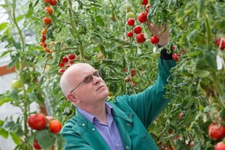 The precise mechanisms involved in tomato softening have remained a mystery until now. Research led by Graham Seymour, Professor of Plant Biotechnology in the School of Biosciences at The University of Nottingham, has identified a gene that encodes an enzyme which plays a crucial role in controlling softening of the tomato fruit. (Credit: Image courtesy of University of Nottingham)