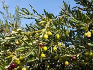 California Olive Growers