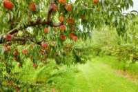 Peach orchard fruits