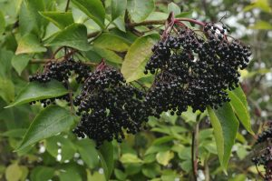 Elderberry hedgerows
