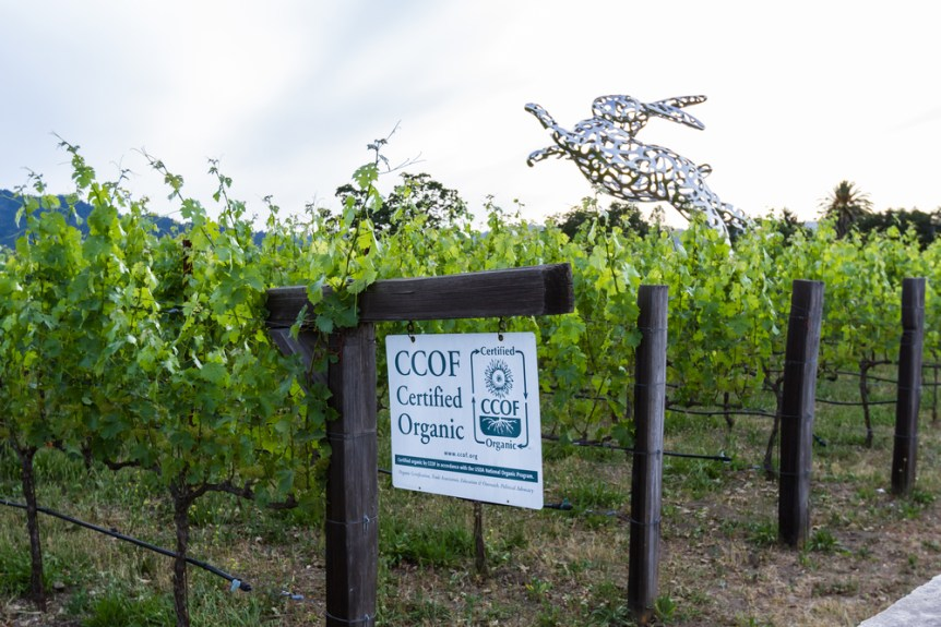 Napa Valley, California: Hall Wines, Certified Organic vineyard with Bunny foo Foo in the background, May 12 2015 Napa Valley, California.