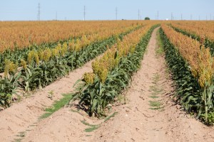 sorghum producers