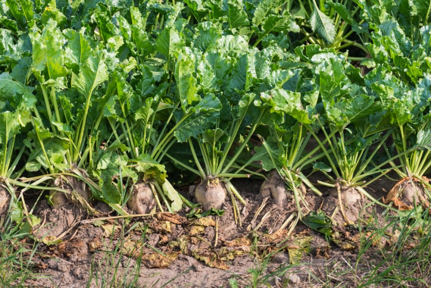 sugarbeets sugar