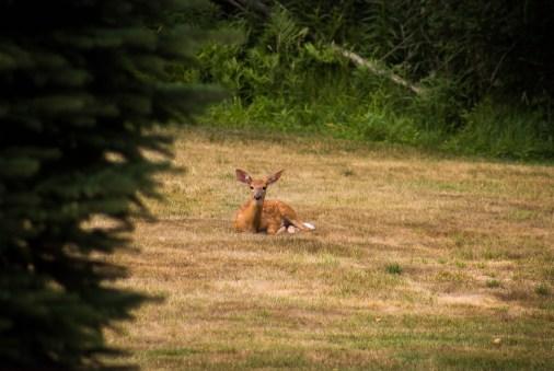 baby-deer-in-backyard