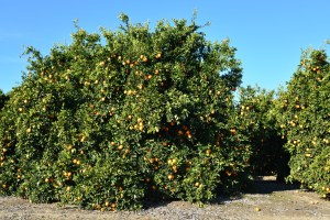 Citrus Survey