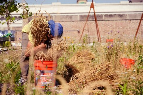Omni Ecosystems Rooftop Wheat Garden Harvest