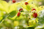 wild-strawberry-2 plants