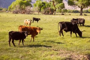 Cattle Theft
