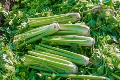 cut celery plants