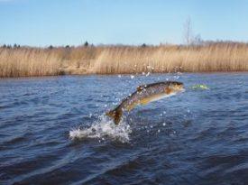 salmon-on-river