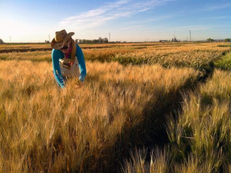 Brittany Hazard, a University of California-Davis doctoral student collecting samples from a wheat field.