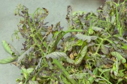 Tomato infected with curly top viruses: Leaves can be thickened, deformed, yellowed, and rolled upwards. Symptomatic tomato leaves often develop purple veins. (Image courtesy UC-ANR)