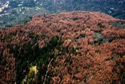 california-forest-dying-trees-16