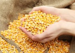 grain, on brown corn background exports