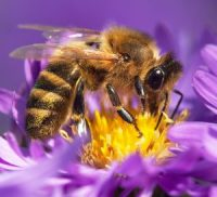 honeybee-apis-mellifera-european-or-western-honey-bee-sitting-on-the-violet-flower